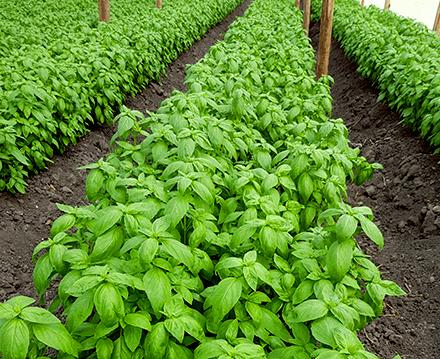 Basil farm