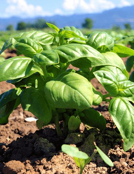 Basil plantation